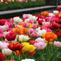 Tulip - Mixed Double Late